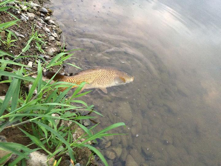多摩川で釣ったコイ