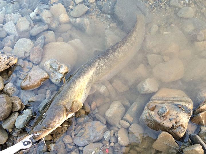 多摩川で釣ったナマズ